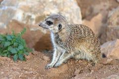 Baby meerkat Royalty Free Stock Photo