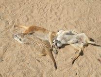 Baby meerkats Stockfotografie