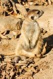 Baby meerkats Lizenzfreies Stockfoto
