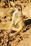 Baby meerkats Lizenzfreie Stockfotografie