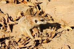 Baby meerkats Lizenzfreie Stockbilder