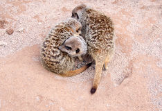 Baby meerkats Royalty Free Stock Image
