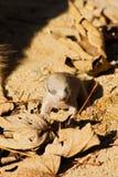 Baby meerkats Stock Images