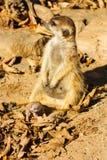 Baby meerkats royalty free stock photography