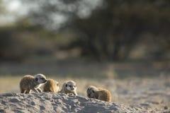 Baby Meerkats sunning their bodies. Baby Meerkats sunning their bodies outside of burrow stock image