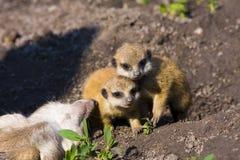 Baby meerkats (Suricata suricatta). One month old baby meerkats royalty free stock photos