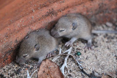 Baby Mice Royalty Free Stock Photography