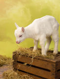 Baby milk goat on crate Royalty Free Stock Photo