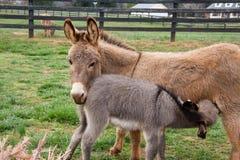 Baby Mini Donkey Stock Photo