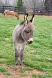 Baby Mini Donkey. In the pasture with it's mother Royalty Free Stock Images