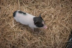 The mini pig family is together,. The  baby mini pig is in the iron stall Stock Photography