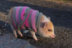 Baby mini pig wearing sweater. Apricot baby mini pig in pink and gray striped sweater standing in profile in pathway royalty free stock photo