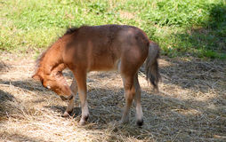 Baby miniatuurpaard Stock Fotografie