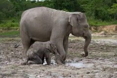 Baby mit Mama des asiatischen Elefanten indonesien sumatra Nationalpark Weise Kambas Stockfoto