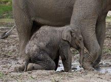 Baby mit Mama des asiatischen Elefanten indonesien sumatra Nationalpark Weise Kambas Stockfotografie