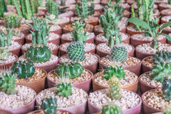 Baby mixed cactus among other cactus in a pot in cactus farm Stock Image