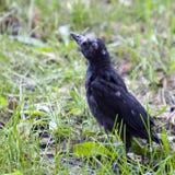 Baby Mocking Bird Stock Photo