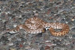 Baby Mojave Rattlesnake - Crotalus scutulatus Royalty Free Stock Images