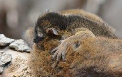 Baby mongoose lemur. Resting on its mother back, Bronx Zoo, New York, NY Royalty Free Stock Photo