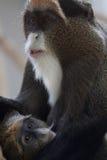 Baby monkey. Cute little baby monkey drinking Royalty Free Stock Photo