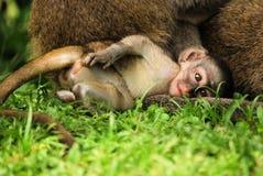 Baby Monkey. Baby vervet monkey in uganda east africa funny cute Royalty Free Stock Photo