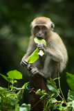Baby Monkey. A baby monkey munching on leaves royalty free stock photo
