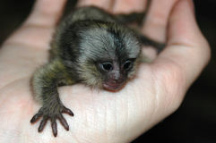 Baby monkey. A new born cute little baby monkey on a caucasian white hand stock photo