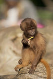 Baby Monkey Stock Photo