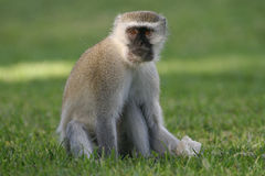 Baby Monkey 2. A curious baby monkey eating some bread in Zambia Royalty Free Stock Photos