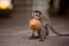 Baby monkey. With a coconut in mouth royalty free stock image