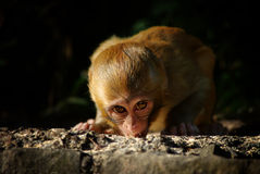 Free Baby Monkey Stock Image - 26164651