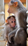 Baby monkey. A baby monkey outside a temple with its mother stock images