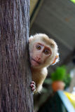 Baby monkey. In Koh Chang Thailand stock images
