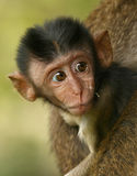 Baby monkey. Baby long-tailed macaque in the wild Royalty Free Stock Photos