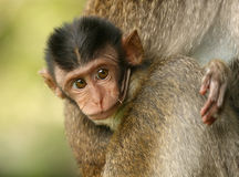 Baby monkey. Holding onto its mother (in the wild royalty free stock images