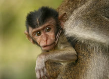 Baby monkey. Baby long-tailed macaque in the wild Royalty Free Stock Images