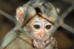 Baby monkey. Sitting all alone behind the cage royalty free stock image