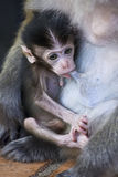 Baby Monkey. Cute little baby monkey drinking Royalty Free Stock Images