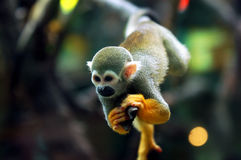 Baby Monkey *. A cute baby monkey play on the tree stock photo