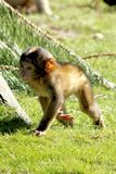 Baby Monkey. This Baby monkey lives in the zoo in the netherlands, specifically in apenheul in apeldoorn. The concept of apenheul was simple, people enjoy royalty free stock photo