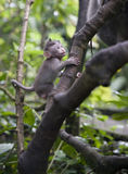 Baby Monkey in bali Royalty Free Stock Images