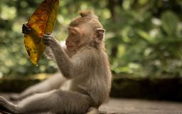 Baby monkey. Bali, indonesia, playing with a leaf Stock Photography