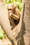 Baby Monkey biting finger  Stock Image