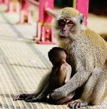Baby Monkey being protected by its mother monkey Stock Photo