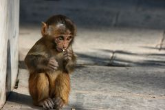 Baby monkey. With big eyes eating candy royalty free stock photo