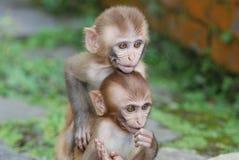 Baby Monkey Buddies Royalty Free Stock Photo