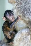 Baby monkey clinging to its mother Royalty Free Stock Photo