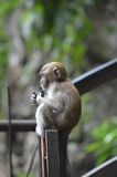 Baby Monkey. A baby monkey clings onto a broken fence in Malaysia's Batu caves Stock Photo