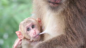 Baby monkey stock video footage