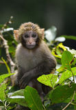 Baby Monkey. A cute baby monkey sitting in the branches of trees Royalty Free Stock Photos